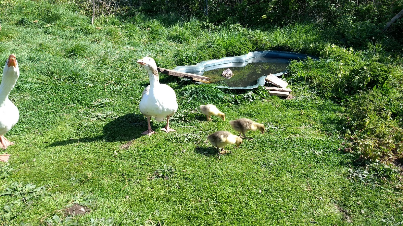 Baby Goslings a sign of Hope.